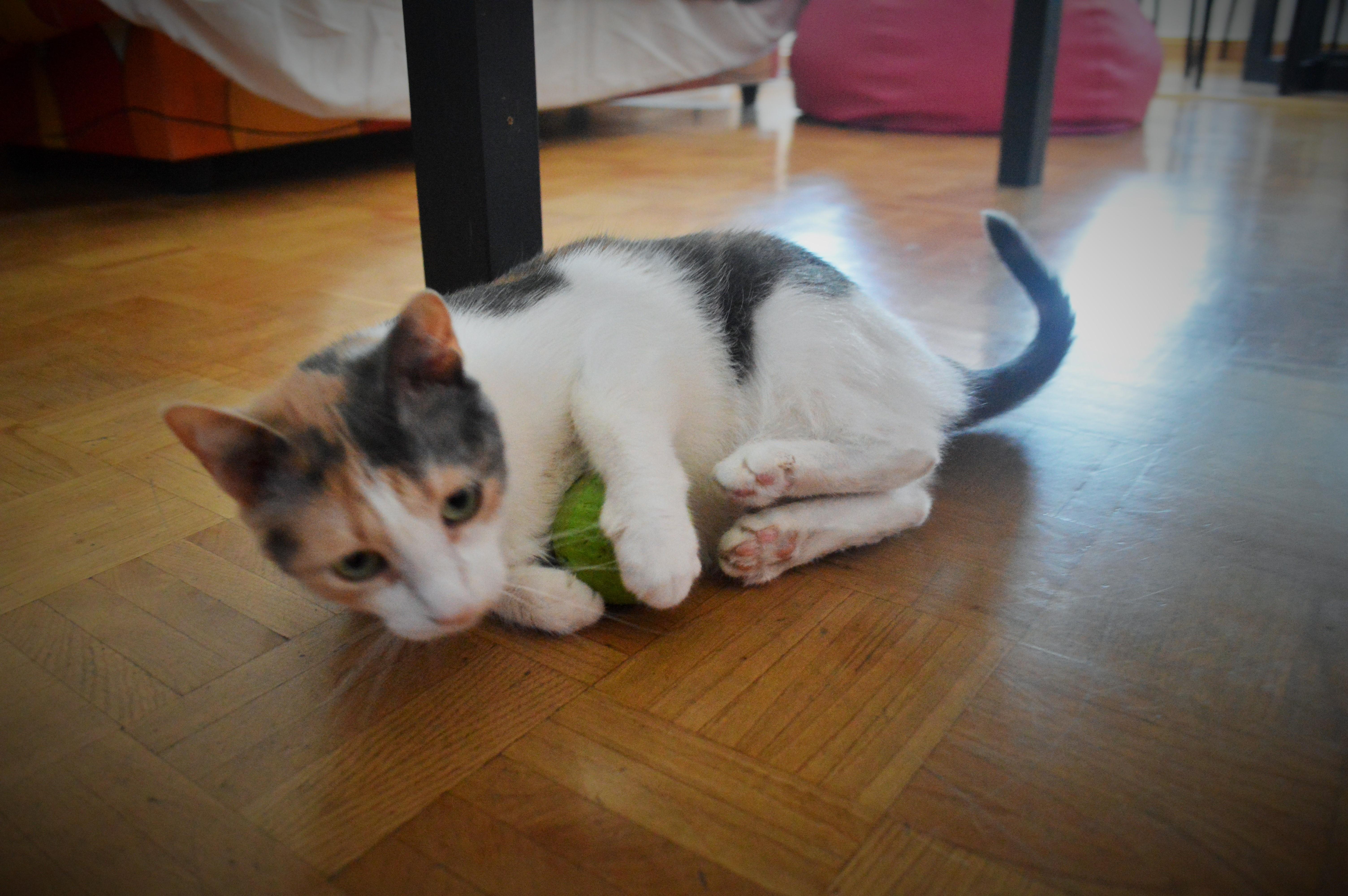 Cómo Estimular A Un Gato Con Traumatismo Craneoencefálico La Guarida De Mis Gatos